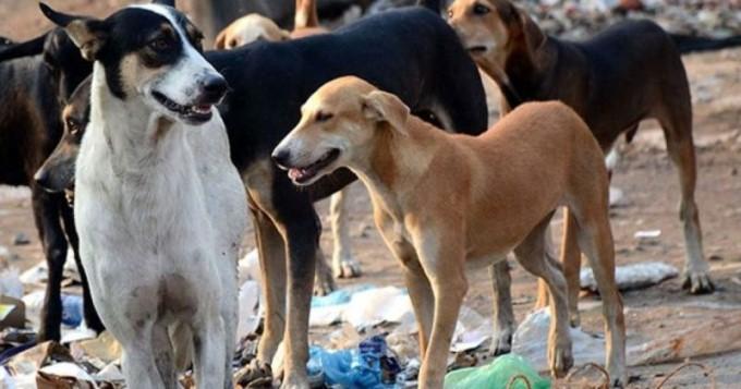 Problemi i qenve endacak i vazhdueshëm në Shkup, dje ishin dy viktima