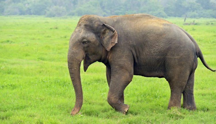 E sjellin një Elefant në Kopshtin Zoologjik në Shkup  shtrejntohet bileta  Drejtori  Elefanti ha shumë
