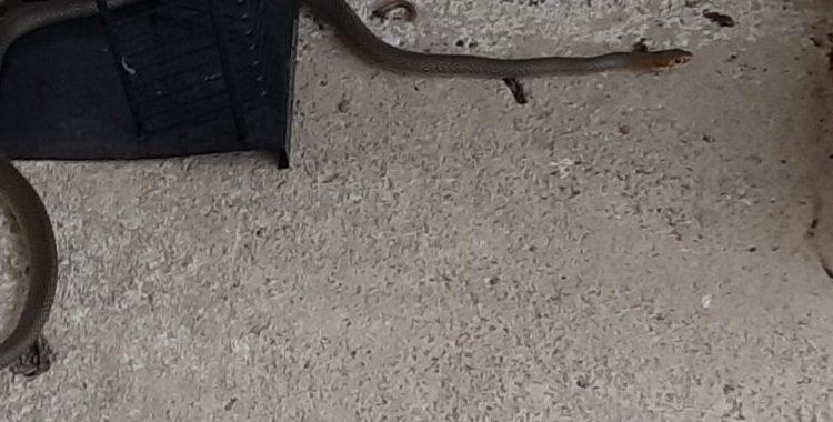 Gjendet një gjarpër dy metra në ballkonin e një shtëpie në Shkup