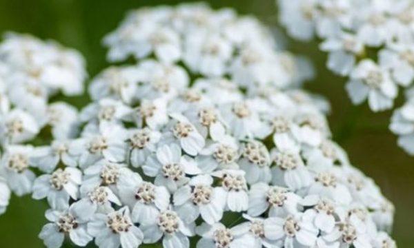 Nëse e keni këtë bimë në shtëpi, gëzohuni…shëron plot sëmundje