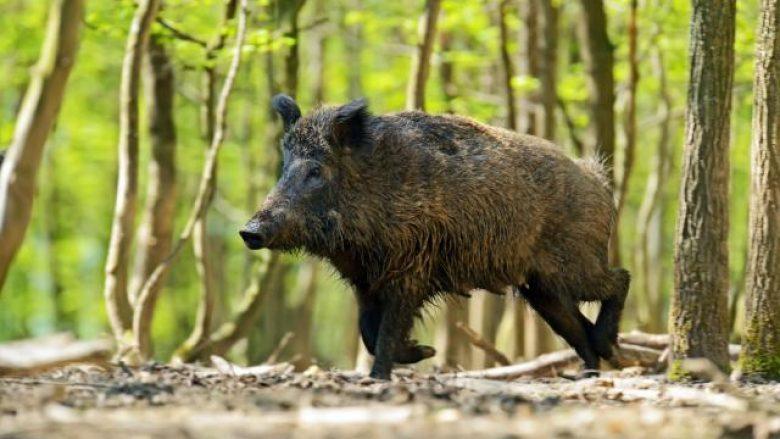 Ushtria do të përfshihet në gjuajtjen e derrave të egër në Maqedoni