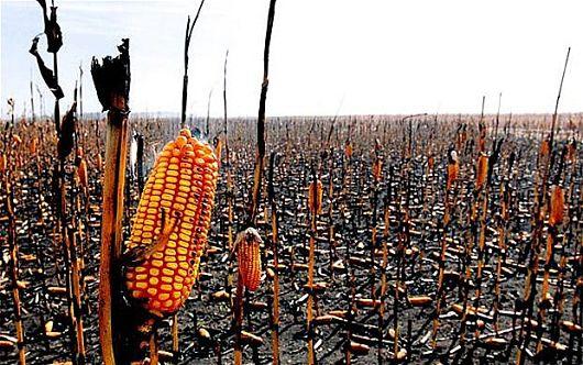 Shkaku i ngrohjes globale, ushqimi do të jetë më i pakët, më i shtrenjtë dhe më pak i shëndetshëm