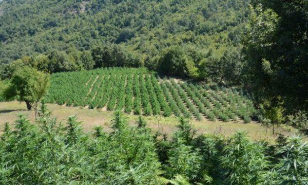 Gjakova bëhet Lazarat, gjendet marihuanë mbi 2 metra