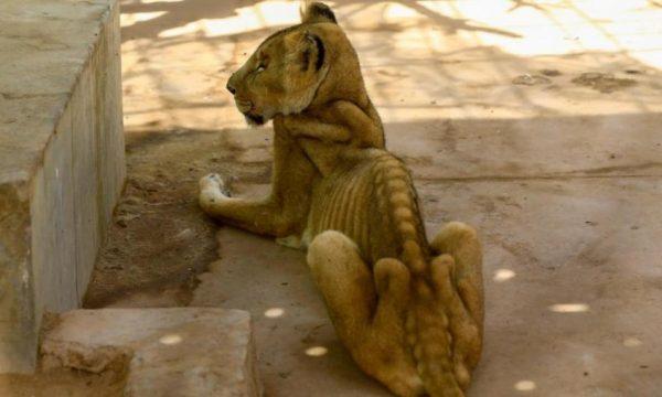 I uritur, i keqtrajtuar fotot e këtij luani kanë shokuar opinionin (FOTO)