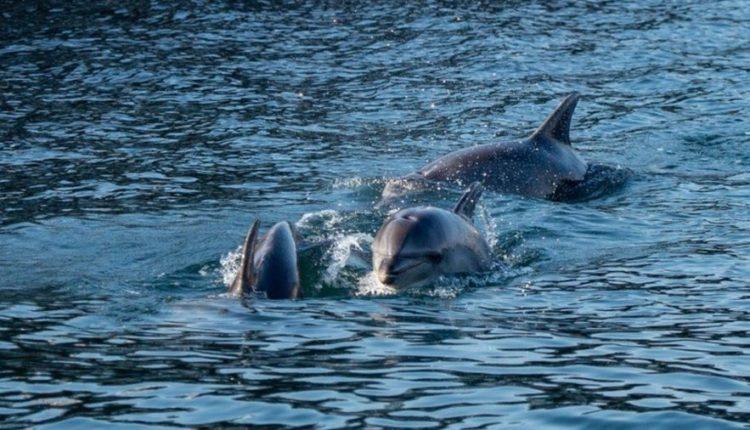 Kafshët e egra po i gëzohen qetësisë nëpër botë: delfinët në Turqi, derrat në Izrael, flamingot në Shqipëri