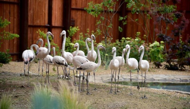 Flamingo në Kopshtin Zoologjik në Shkup, së shpejti do të vijnë pinguinët