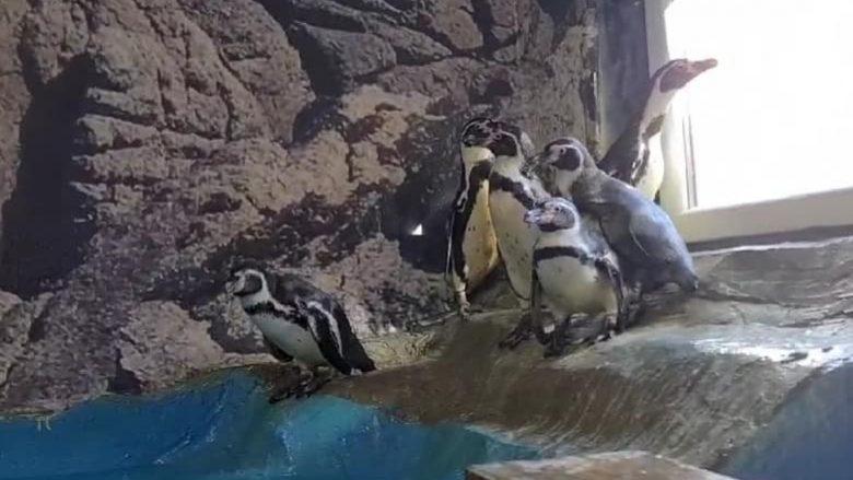 Në ZOO Shkup arritën gjashtë pinguinë të rinj